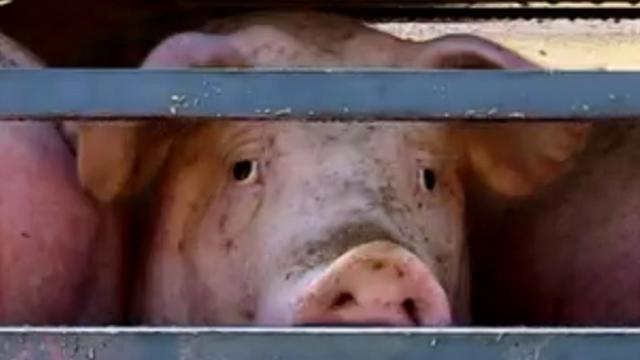 Inspectie Dierenwelzijn doet inval bij varkensslachthuis Debra