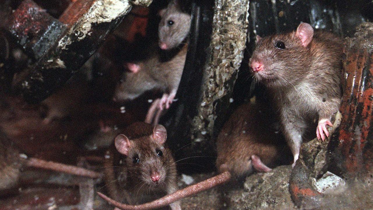 Ratten in Noord