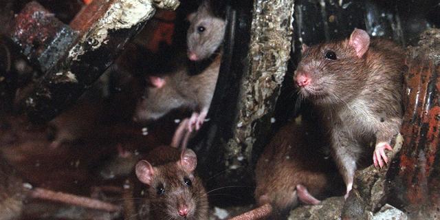 Rattenplaag op de Brink in Deventer