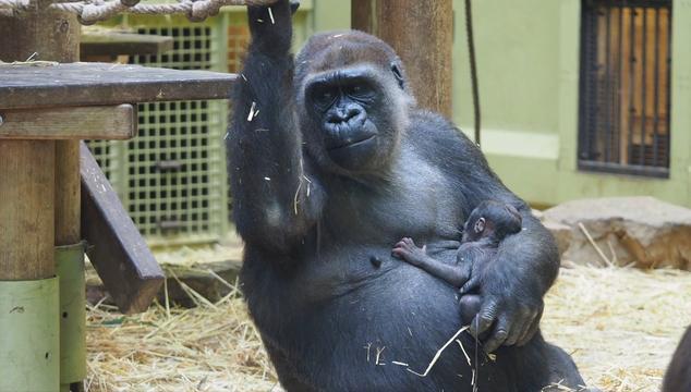 Ernstig bedreigde gorilla komt ter wereld in ARTIS