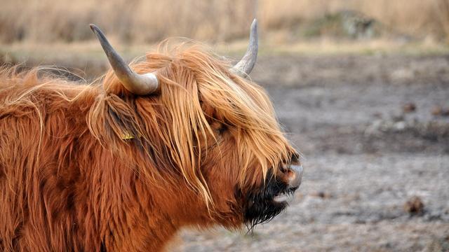 Schotse Hooglanders Brienenoord verhuizen tijdelijk naar Rozenburg