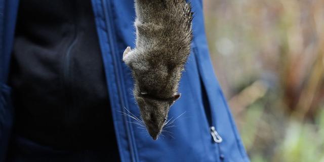 'Ratten in New York schuilen in coronatijd onder motorkap van auto's'