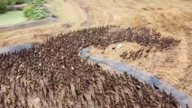 Duizenden eenden ingezet om Thaise rijstvelden te beschermen