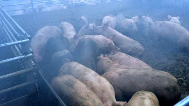 Brand bij varkensstal Limburg mogelijk aangestoken