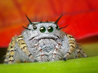 Vooral springspinnen doen zich tegoed aan planten