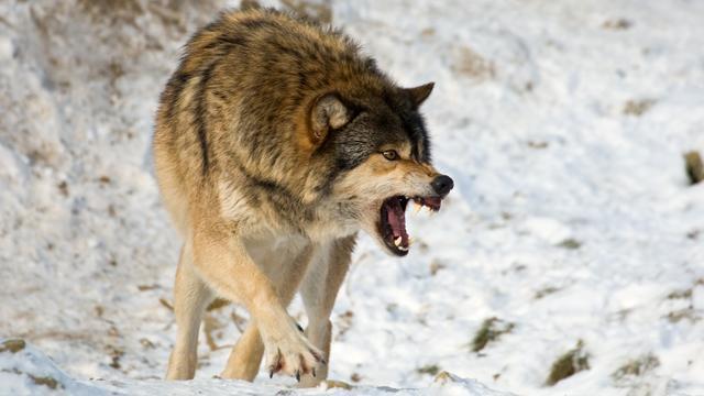 Wolf maakt veertien schapen dood