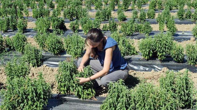 Verkoop groene Stevia verboden door NVWA
