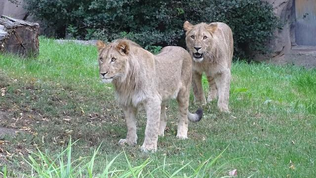 Een van de twee ontsnapte leeuwen in Duitse dierentuin doodgeschoten