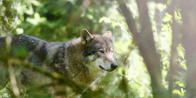 Alpiene wolf duikt voor het eerst op in Nederland