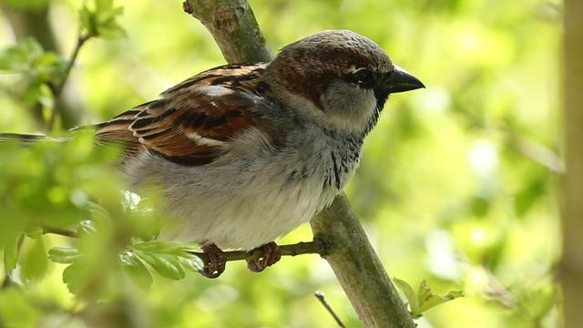 Huismus meest geteld in Stad tijdens Nationale Vogeltelling