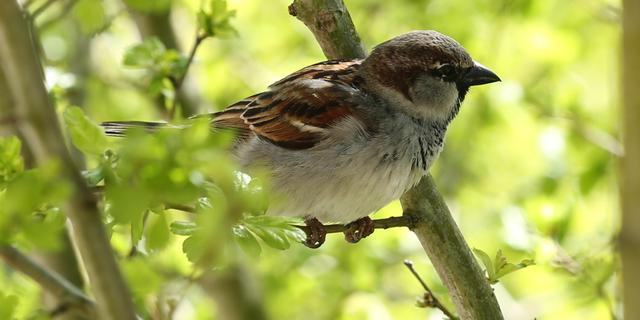 Huismus meest geteld in Haarlem tijdens Nationale Vogeltelling