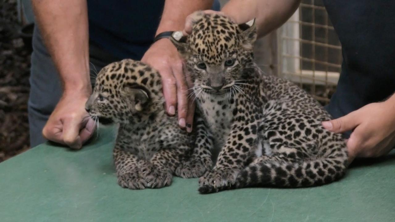 Dierenarts stelt geslacht panterwelpjes Burgers' Zoo vast