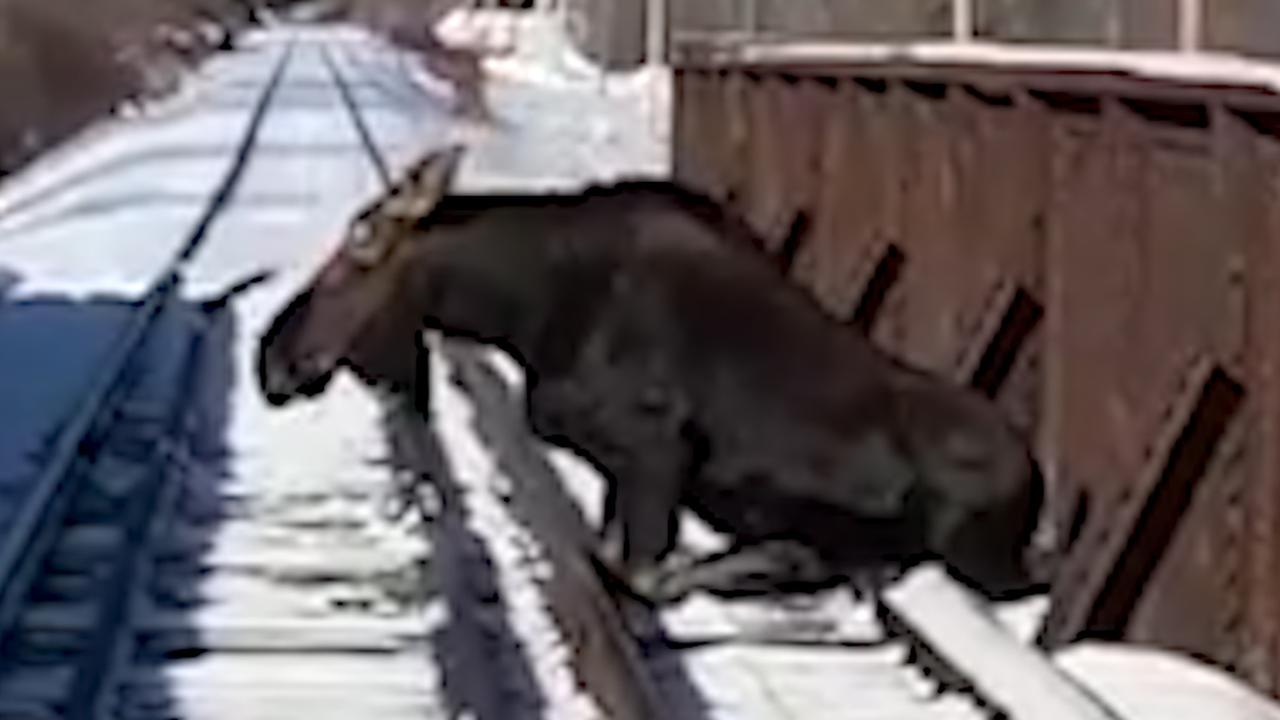 Vastzittende eland gered van actieve spoorbrug in VS