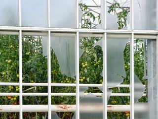 Bij vier of vijf bedrijven moeten de gewassen worden geruimd