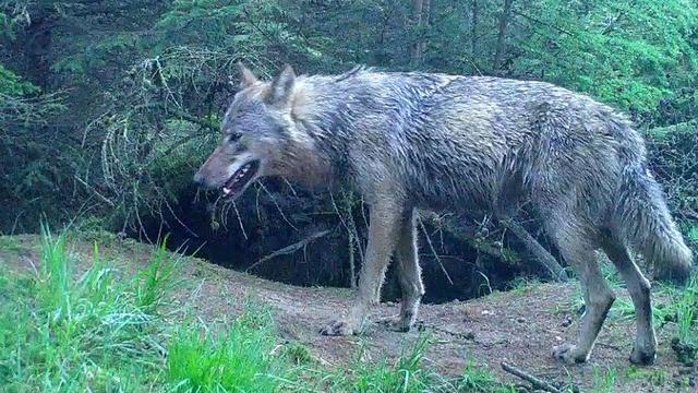 Wolf vestigt zich mogelijk in Drenthe