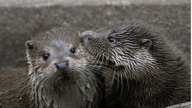 """Otter ontsnapt uit Diergaarde Blijdorp: """"Hij is heel erg snel!"""""""