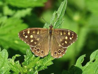 Vlinder stond eerder bekend als typische bossoort
