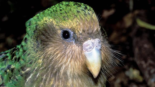 Kakapo wint door fraude geteisterde vogelverkiezing in Nieuw-Zeeland