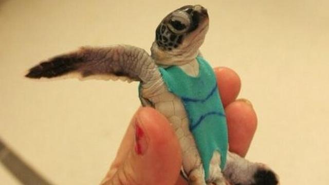 Wetenschappers ontwerpen luiers voor schildpadden