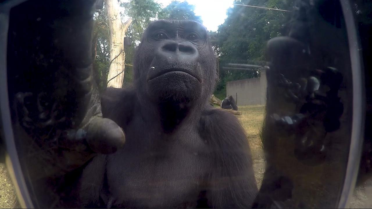 Gorilla's Burgers' Zoo ontdekken GoPro in buitenverblijf