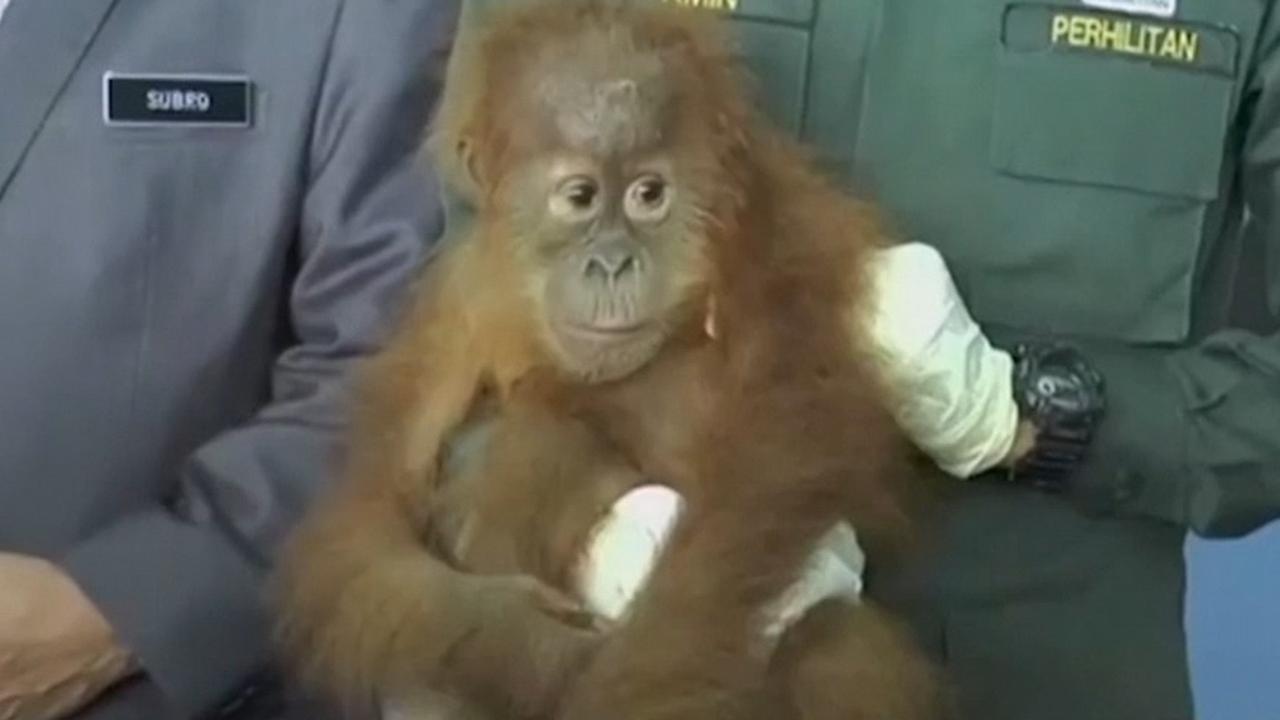 Douane Maleisië redt orang-oetanbaby's uit handen van smokkelaars