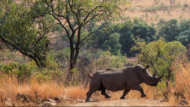 Minder neushoorns gestroopt in Zuid-Afrika sinds begin 2018