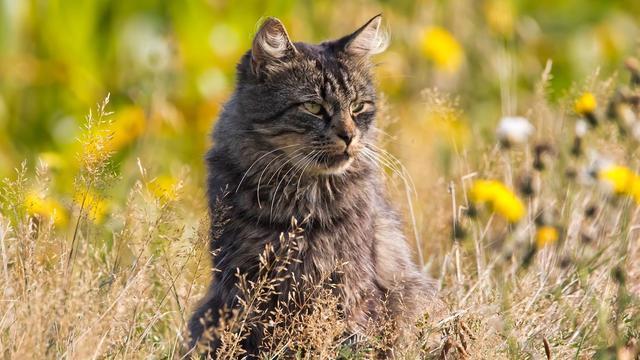 Wilde kat weer terug in Nederland