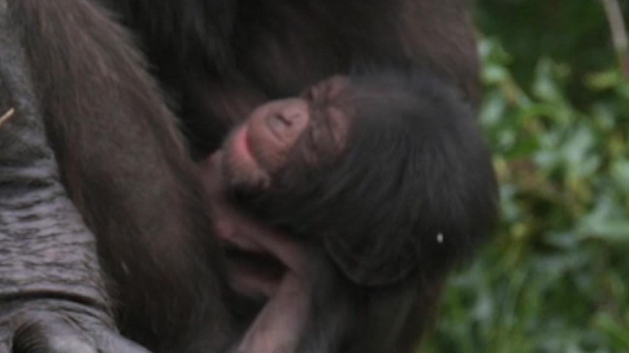 Bezoekers filmen zeldzame babychimpansee in Engelse dierentuin