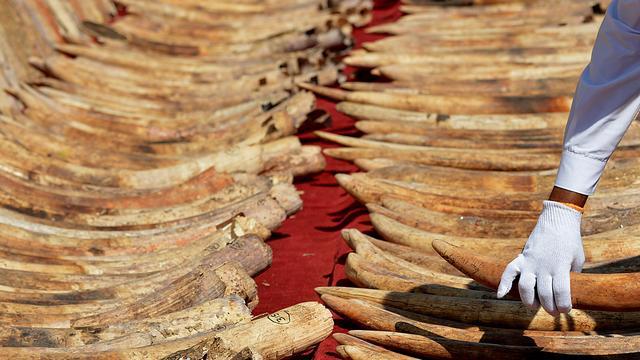 Kenia gaat 120 ton ivoor verbranden