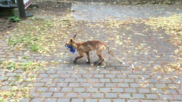 Houd de dief! Duitse vos steelt meer dan 100 schoenen
