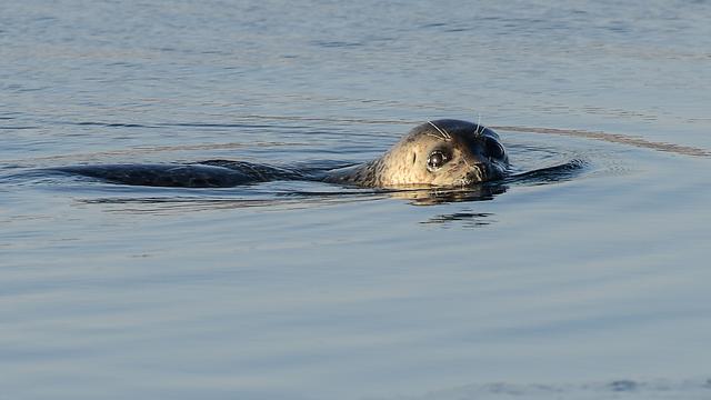 Goed nieuws: Meer zeehonden in Waddenzee   Hulplijn 113 beschikbaar