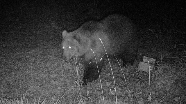 Bruine beer gespot in Duitsland