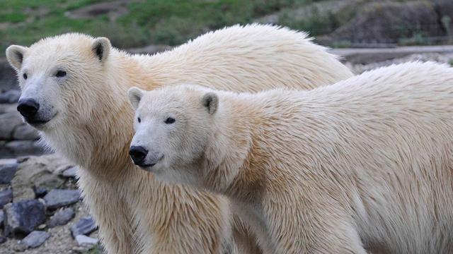 Diergaarde Blijdorp neemt afscheid van volwassen ijsbeertweeling