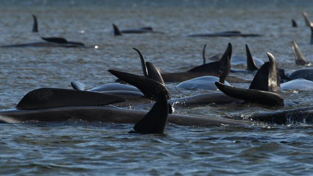 Grote reddingsactie voor zo'n 180 bij Tasmanië gestrande walvissen