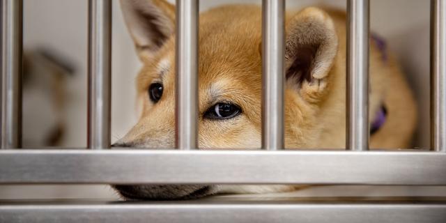 Illegale hondenfokkerij in Hoogeveen opgerold, twee verdachten opgepakt