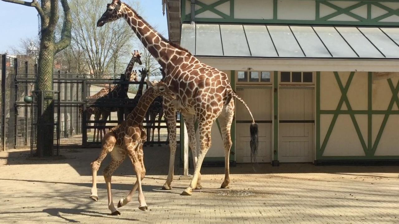 Pasgeboren giraffe Artis zet eerste stappen buiten
