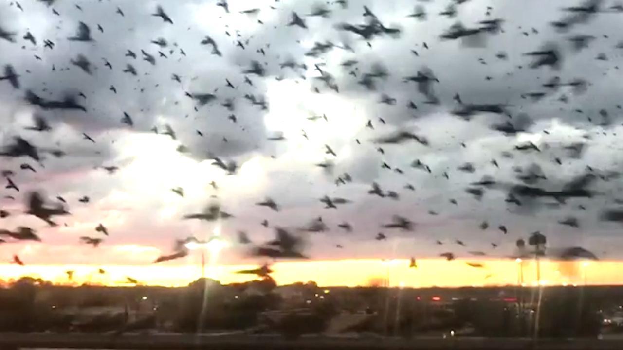 Enorme zwerm vogels vliegt over snelweg in Texas