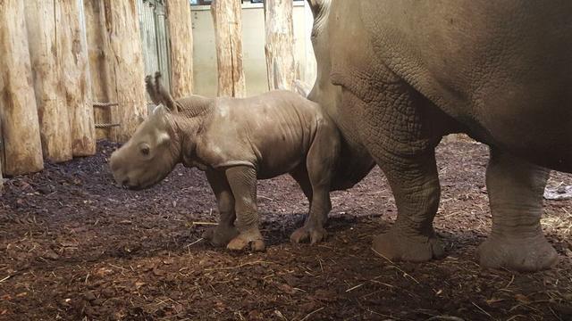 Neushoorn Izala bevalt van dochter in Burgers' Zoo