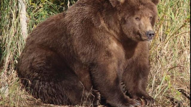'Beadnose' verkozen tot dikste beer van 2018 in wildpark Alaska
