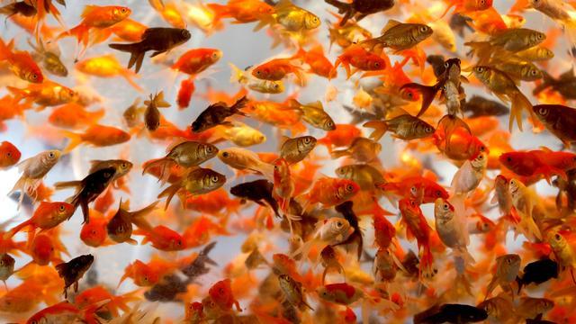 Alle illegaal uitgezette goudvissen uit Veenendaalse gracht gevist