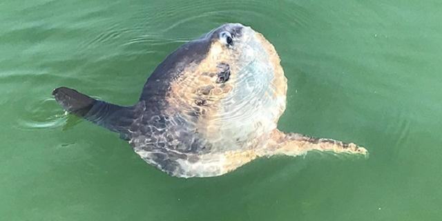 Zeldzame maanvis waargenomen in Waddenzee