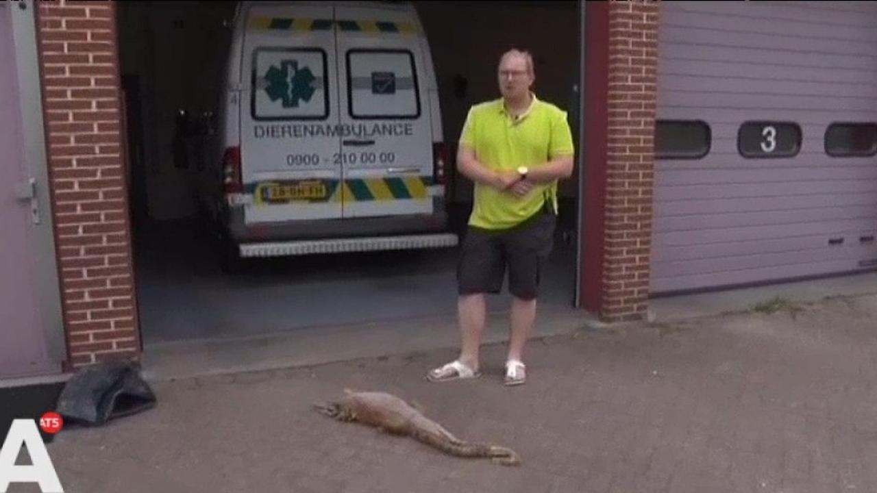Amsterdammer vindt krokodil in kruipruimte