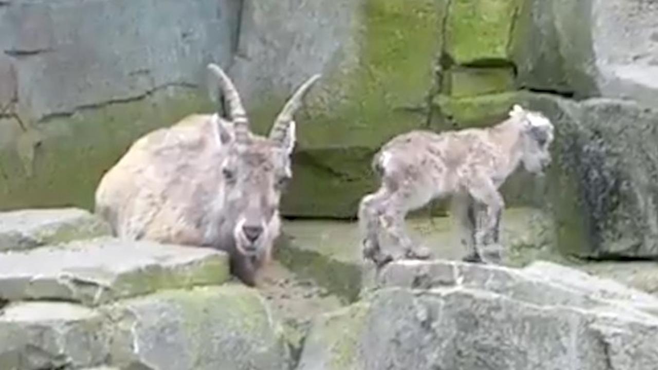Alpensteenbok geboren in Artis