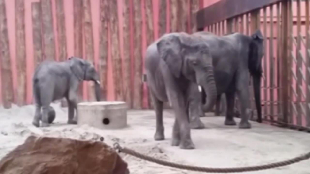 Afrikaanse olifant Safaripark Beekse Bergen zwanger