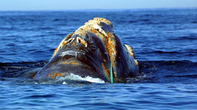 'Gezang verraadt identiteit van walvis'