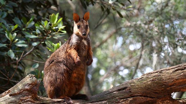 Deze onbekende buideldiersoorten dreigen uit te sterven in Australië