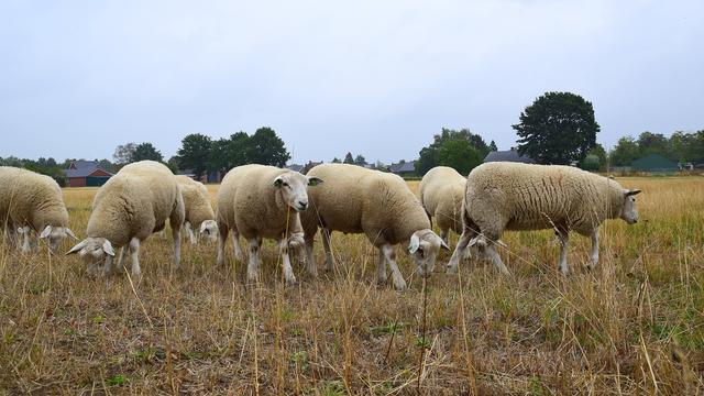 Kudde van ruim zestig schapen doodgereden op Duits spoor