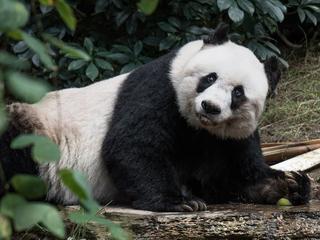 Grazende dieren beschadigen bamboe