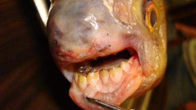 Bijtgrage vis nu ook opgedoken in Franse wateren