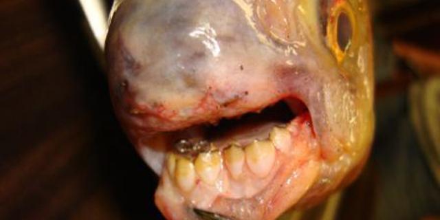Scandinavische zwemmers gewaarschuwd voor bijtgrage vis